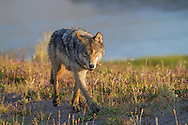 Gray wolves are known to roam large distances in search of prey, often up to twelve miles in a single day. Historically, gray wolves have the largest range of any land mammal, other than humans. They have lived in all habitats in the Northern Hemisphere except for tropical rainforests.