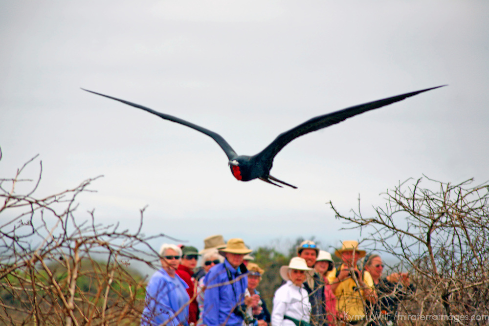South America, Ecuador, Galapagos Islands. A Magnificent Frigatebird in flight over tourists on North Seymour Islands in the Galapagos.