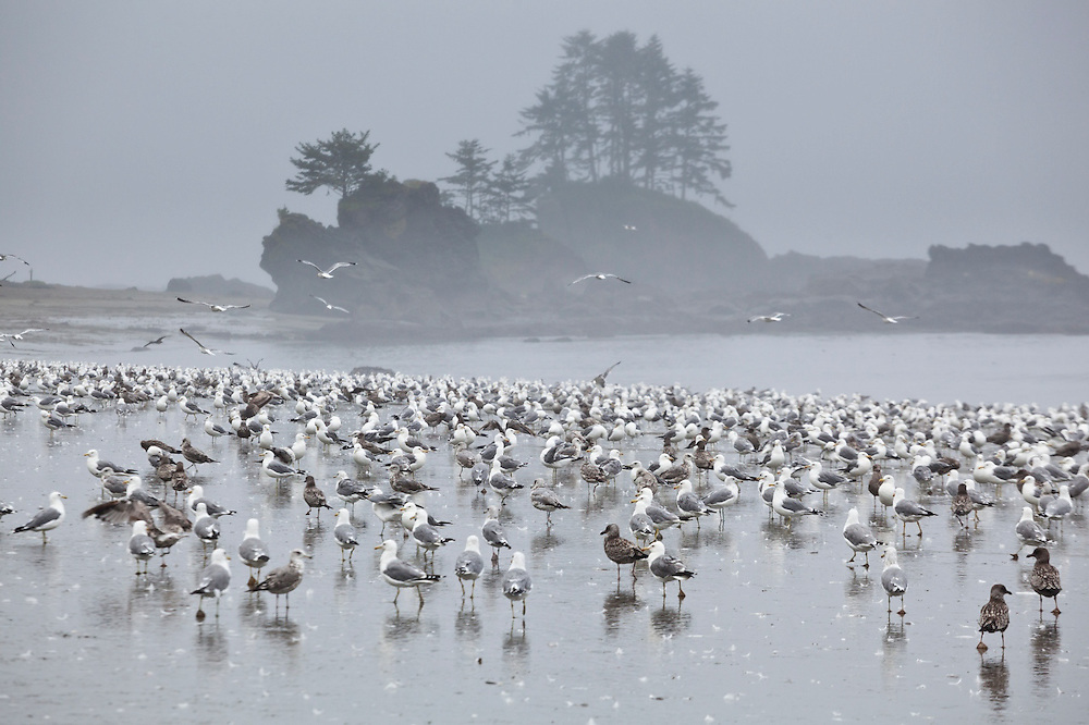 A flock of seagulls on the beach along the West Coast Trail, British Columbia, Canada.