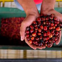 SANTA TERESA FARM - VOLCAN, CHIRIQUI - PANAMA 04-03-2016