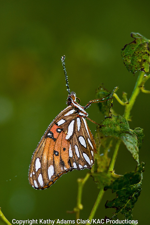 Gulf fritillary., Agraulis vanillae, covered in dew, Anahuac National Wildlife refuge, Texas.
