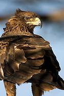 Portrait of a tawny eagle, Kenya, Africa