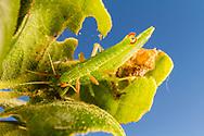 Walkingstick (Timema californicum) - pair mating<br /> CALIFORNIA: Monterey Co.<br /> Hastings Biological Preserve<br /> 8-May-2015<br /> J.C. Abbott &amp; K.K. Abbott