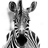 Zebra in Ruaha National Park, Tanzania. Merit Award, National Geographic Traveler International Awards 2010.