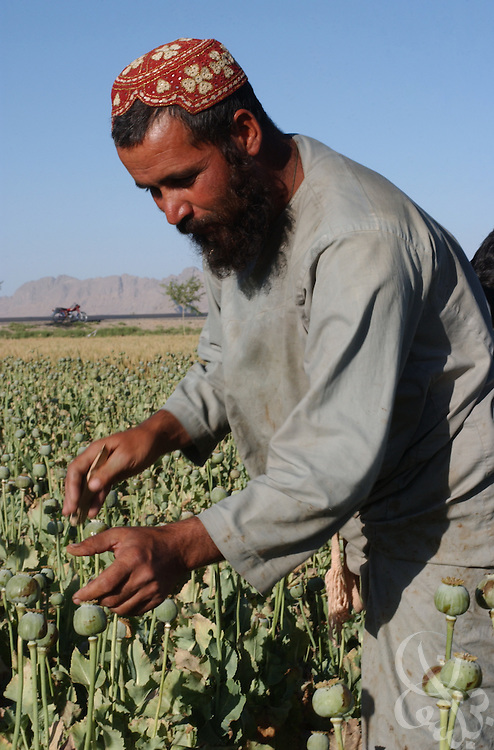 "Afghan farmer Abdul Samad prepares poppy bulbs for harvest by slicing them with razors (""scoring"") in the field May 16, 2002 near the city of Kandahar, in southern Aghanistan. Despite Afghan and coalition efforts at eliminating the crops used to produce opium and heroin, Afghan farmers in Southern Afghanistan continue to embrace poppies for their high cash value and hardiness."