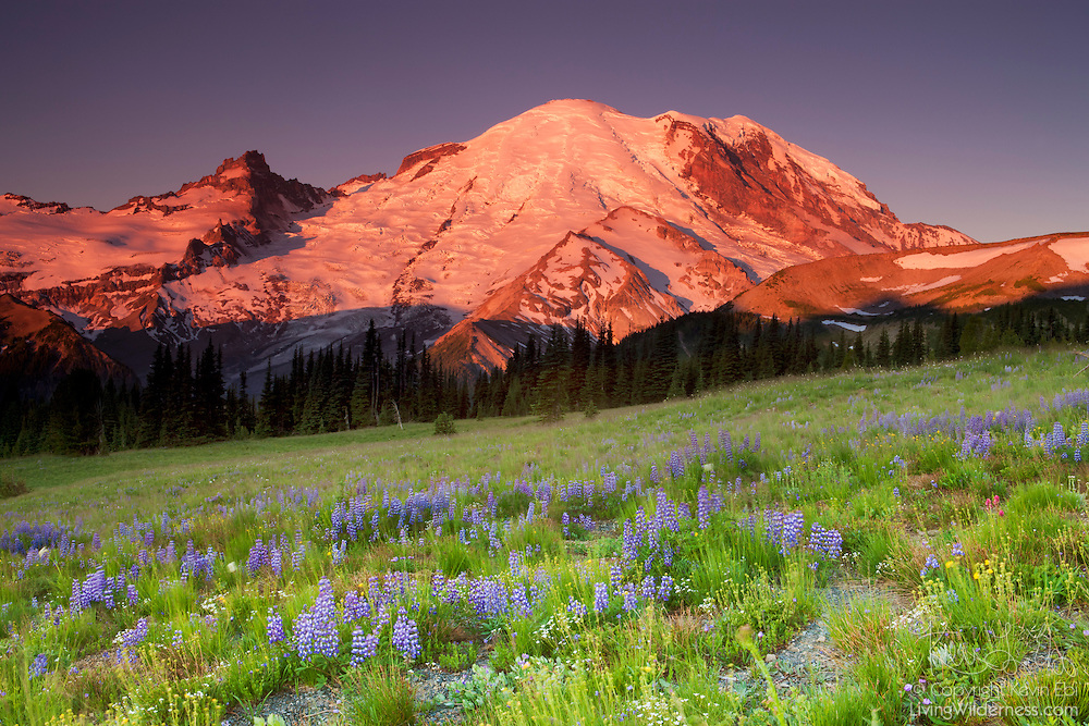 Mount Rainier towers over a field of lupine in the Sunrise section of Mount Rainier National Park in Washington state. Rainier is a 14,411 ft (4,392 m) stratovolcano, the tallest volcano in the Cascade range and the highest point in Washington state.