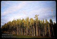 02: EVERGLADES MELALEUCA TREES