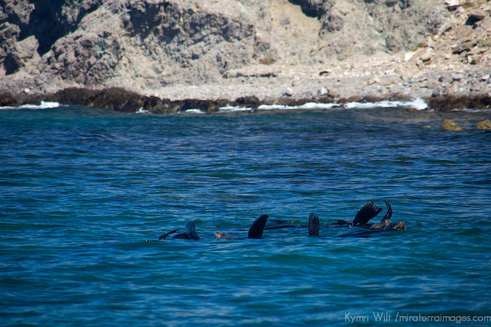 Mexico, Baja California Sur, islands of Loreto. Sea lions in the Sea of Cortez.