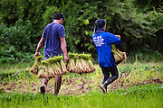 Carrying rice bundles from the starter field to a larger field where they will be hand planted. Nakhon Nayok, Thailand Aug 16, 2016. PHOTO BY LEE CRAKER