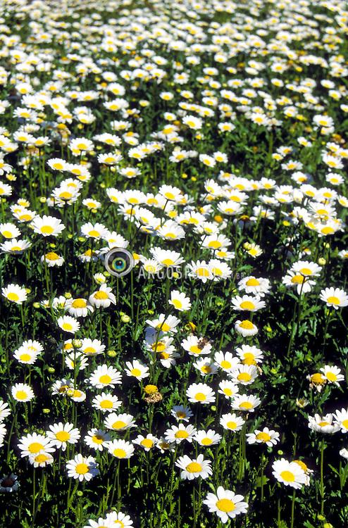 Jardim de Margaridas / Daisy garden