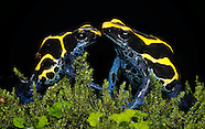 Arizona Dendrobates