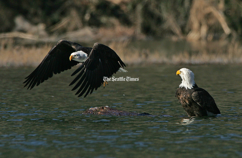 Bald eagles come to the Skagit River in winter. The birds come to feed on salmon carcasses. The abundance of birds has spawned a tourist boom with many outfitters offering float trips in inflatable rafts. (Mark Harrison / The Seattle Times)