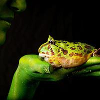 First Place FotoWeek DC 2012, Natural World Portfolio. Metamorphosis. Pac man frog on hand