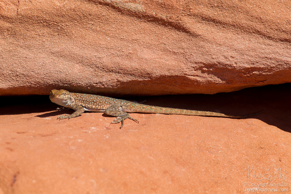 A side-blotched lizard (Uta stansburiana) rests in a crack in a sandstone cliff in Tuweep, Arizona.