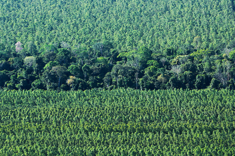 Aug. 21, 2005. Aug. 21, 2005. When not cleared for soy fields or cattle grazing, original, ecologically difverse Amazon rainforest land, often becomes a near-monoculture of few species. ©Daniel Beltra