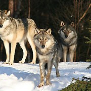 The gray wolf (Canis lupus) - Ulv