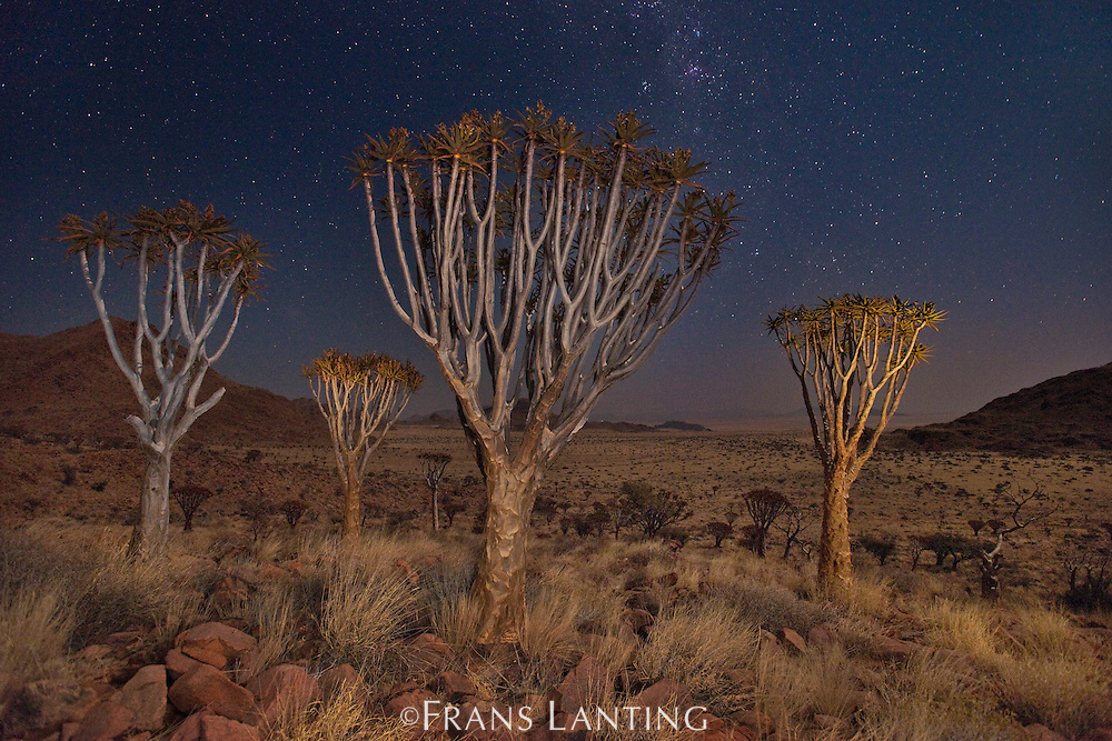 Quiver trees and starry night sky, Aloe dichotoma, NamibRand Nature Reserve, Namibia