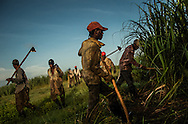 EL SEIBO, DOMINICAN REPUBLIC - OCTOBER 14, 2013: Men born in Haiti, or in the Dominican Republic to parents born in Haiti, cut sugar cane just after dawn on a plantation in El Seibo. Because of the hard labor and low wages associated with cutting sugarcane, it is work mostly done by Haitian immigrants, who live in impoverished bateys on plantations throughout the Dominican Republic.  All of the workers children were born in the Dominican Republic, and are affected by judgment TC/0168, handed down by the Constitutional Court of the Dominican Republic.  The ruling essentially revokes Dominican citizenship from tens of thousands of people born in the Dominican Republic, which means they cannot have access to government services, id's necessary to travel and work, and the children cannot attend public school. The Inter-American Commission on Human Rights has expressed that the ruling would leave affected people stateless, which is a violation of the American Convention on Human Rights.
