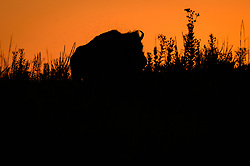 Hundreds of unidentified flies hover above a bison (Bison bison) during sunset in the Regal Prairie Natural Area located in Prairie State Park. <br /> <br /> Among the flies that are a pest to bison are horn flies (Haematobia irritans). As many as 500 to 1,500 horn flies will feed on the blood of a bison 20 to 40 times a day.<br /> <br /> Prairie State Park, located near Liberal, Mo. is Missouri&rsquo;s largest remaining tallgrass prairie. The park&rsquo;s nearly 4,000 acres is home to bison and elk. Panoramic hillsides of wildflowers such as prairie blazing star, sunflowers, and Indian paintbrush provide a canvas of color. In the fall, prairie grass such as big bluestem and Indian grass may tower as high as 8 feet tall. <br /> <br /> Tallgrass prairie once covered more than 13 million acres of Missouri&rsquo;s landscape. Today, less than one percent remains. The prairie at Prairie State Park remains because the rocky land was too difficult to plow, which protected it from being farmed. Hiking, animal viewing, camping, birdwatching, and photography are some of the activities that the park affords. <br /> <br /> The Regal Prairie Natural Area is a 240-acre state natural area within the park that is especially noted for its wildflower display. The Nature Conservancy and the Missouri Prairie Foundation provided funding for the purchase of much of the park&rsquo;s acreage. The area was dedicated as a state park in 1982.