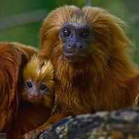 Golden Lion Tamarin (Leontopithecus rosalia) endangered species, Atlantic Forest, Rio De Janeiro, Brazil