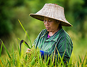 The Rice Harvest in Nakhon Nayok, Thailand. PHOTO BY LEE CRAKER