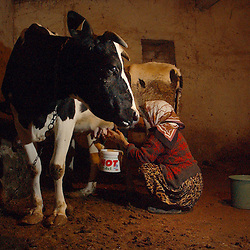 Ali Ipak 's wife Ayse milks her cow December 13, 2005 in central Turkey, Konya in Kutoren district, about 400 kilometers from Ankara.  (Ami Vitale)