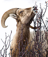 NEWS&GUIDE PHOTO / PRICE CHAMBERS.A young ram nibbles the last bits of foliage from a bush at the base of Miller Butte on Monday. Two hundred years ago, Bighorn Sheep were widespread throughout the west and some estimates placed their population at higher than 2 million. By around 1900, hunting, competition from domesticated sheep, and diseases decreased the numbers to only several thousand.