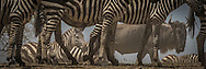 Plains Zebras congregate in the Ndutu area before continuing their migration northward