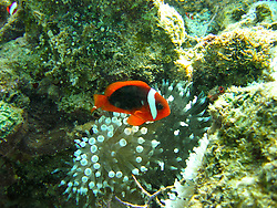 A clownfish guards its anemone on a shallow reef at Lombadina on the Kimberley coast.