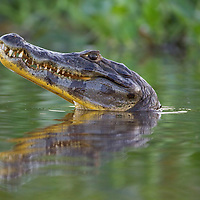 Spectacled (White or common) Caiman (Caiman crocodilus), Pantanal, Brazil