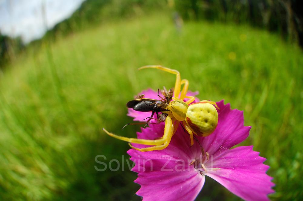 Crab spider (Misumena vatia) | Veränderliche Krabbenspinne, Misumena vatia, Weibchen auf Nelkenblüte