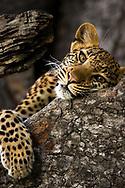 Close-up portrait of a leopard resting in a tree, Okavango Delta, Botswana.