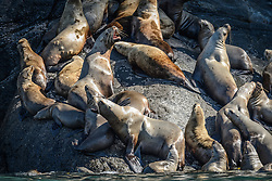 Among the concerns related to the proposed Juneau Access Improvements Project is the Steller sea lion haulout at Gran Point (pictured). The haulout at Gran Point is a designated Steller sea lion Critical Habitat Area. According to the Alaska Department of Transportation&rsquo;s 2014 Juneau Access Improvements Project: Draft Supplementary Environmental Impact Statement, more than one hundred Steller sea lions (Eumetopias jubatus) have been counted at the haulout during the spring and fall. As currently proposed the proposed highway would be built just uphill from the haulout area, approximately 100 to 600 feet horizontally and 50 to 100 feet vertically.<br /> <br /> Highway plans near the haulout includes blasting steep rock-cut embankments and several tunnels with one tunnel entrance only 550 feet away from the haulout. There is concern for haulout abandonment by the sea lions during highway construction as studies have shown Steller sea lions are very sensitive to noise, both in and out of water. Because Steller sea lions frequent Gran Point nearly year round, the use of explosives and helicopters will be challenging during construction.<br /> <br /> There are two distinct populations of Steller sea lions in Alaska. The majority of Stellar sea lions that frequent the Lynn Canal are part of the eastern population of Steller sea lions which are not listed as endangered under the Endangered Species Act; unlike the western population of Steller sea lions which are listed as endangered. That said however, there have been confirmed sightings of the western population Steller sea lions at Gran Point.<br /> <br /> The Juneau Access Improvements Project is a proposed $570-million highway project to extend Glacier Highway out of Juneau for closer road access to the southeast Alaska towns of Haines and Skagway. Juneau&rsquo;s roads do not connect with the continental road network.