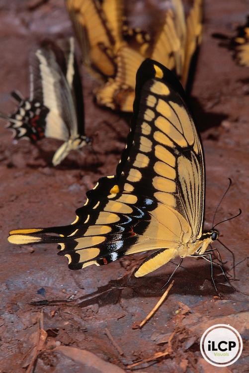 Papilionid sp butterfly, Amazonas, Brazil SWD-010453.tif