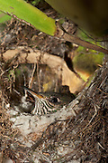 Black-tailed Trainbearer (Lesbia victoriae) chick in nest<br /> Quito<br /> Andes<br /> ECUADOR, South America<br /> HABITAT &amp; RANGE: Subtropical or tropical moist montanes,  high-altitude shrubland, and heavily degraded former forest. Colombia, Ecuador &amp; Peru