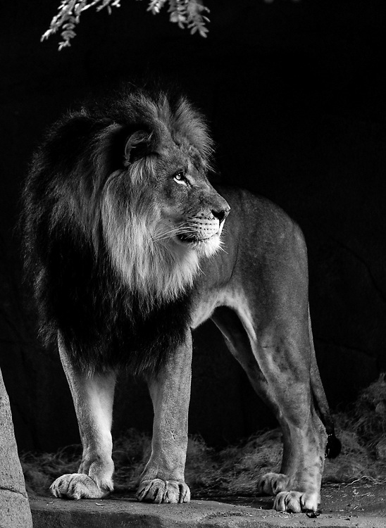 Soul Survival: African Lion (Panthera leo)<br /> Vulnerable/Species Survival Plan