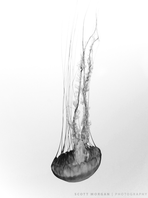 Scott Morgan Photography 2010<br /> Jellyfish series from Monterey, California, USA.