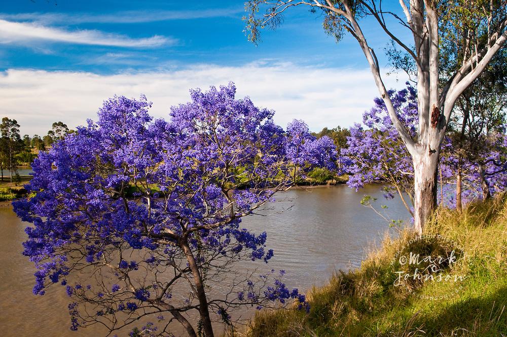 Jacaranda Trees in full Spring-time bloom, Brisbane, Queensland ...