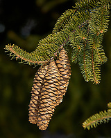 Pine cones in the afternoon sun. Late winter backyard nature in New Jersey. Image taken with a Nikon D2xs camera and 80-400 mm VR lens (ISO 100, 220 mm, f/8, 1/250 sec).