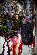 Recently caught alligators lie on the bottom of the boat as hunters search for alligator near Shell Island, Louisiana on Saturday, September 19, 2009.