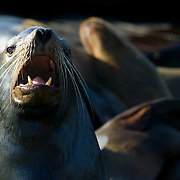 A California sea lion barks while dozens of others rest and sunbathe at Pier 39 in San Francisco, California. On sunny days, hundreds of sea lions rest on the piers.