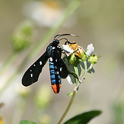A Polkadot Wasp Moth dipping nectar out of a wild daisy on Jekyll Island Georgia. These moths mimic wasps but are in no way related, nor do they sting.