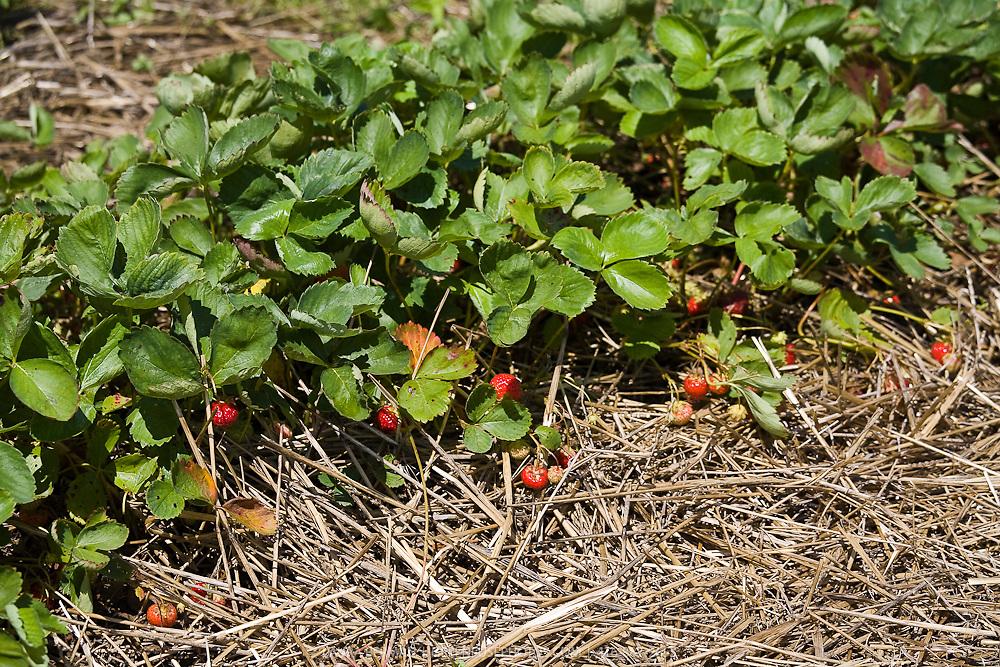 Strawberry plants growing in straw mulch.