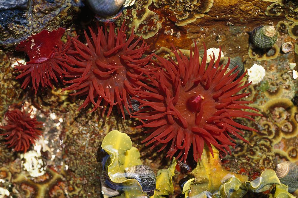 Beadlet sea anemones in shallow rock pool