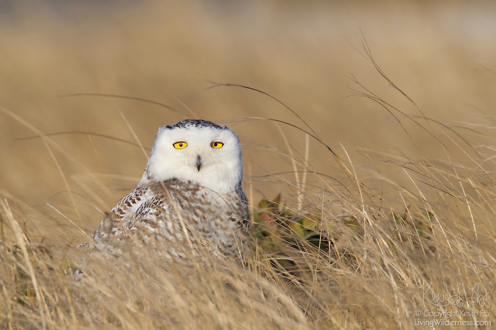 A snowy owl (Nyctea scandiaca) rests in tall grass at Damon Point in Ocean Shores, Washington. Snowy owls, which spend the summer in the northern circumpolar region north of 60 degrees latitude, have a typical winter range that includes Alaska, Canada and northern Eurasia. Every several years, for reasons still unexplained, the snowy owls migrate much farther south in an event known as an irruption. One leading theory is that the snowy owl population grew so fast last summer that they have to spread out more than usual to find food this winter. During the 2011-2012 irruption, Ocean Shores on the Washington coast was the winter home for an especially large number of snowy owls. Snowy owls tend to prefer coastal and plains areas, which most resemble the open tundra that serves as their typical home.