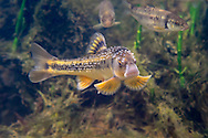 Largescale Stoneroller<br /> <br /> Isaac Szabo/Engbretson Underwater Photography