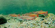 Brook Trout, Underwater