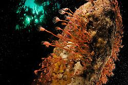 Oaten pipes hydroid (Tubularia indivisa), Atlantic Ocean, Strømsholmen, North West Norway   Vor der norwegischen Küste wird das sogenannte Hartsubstrat, also fester Untergrund aus verschiedensten Materialien, zum Teil von einzelnen Stielen des Ungeteilten Röhrenpolypen (Tubularia indivisa) besiedelt. Die in die Strömung ausgestreckten Tentakeln dienen durch Einfangen von Plankton dem Nahrungserwerb.