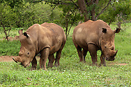 White Rhinoceros (Ceratotherium simum)<br /> SOUTH  AFRICA: Mpumalanga Province<br /> Mauricedale Game Farm near Malelane<br /> 20.Jan.2006<br /> S25 31.472 E031 36.715 362m<br /> J.C. Abbott #2235