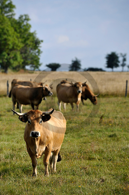 28/08/09 - CUSSAC - CANTAL - FRANCE - GAEC Charreire. Vaches Aubrac - Photo Jerome CHABANNE